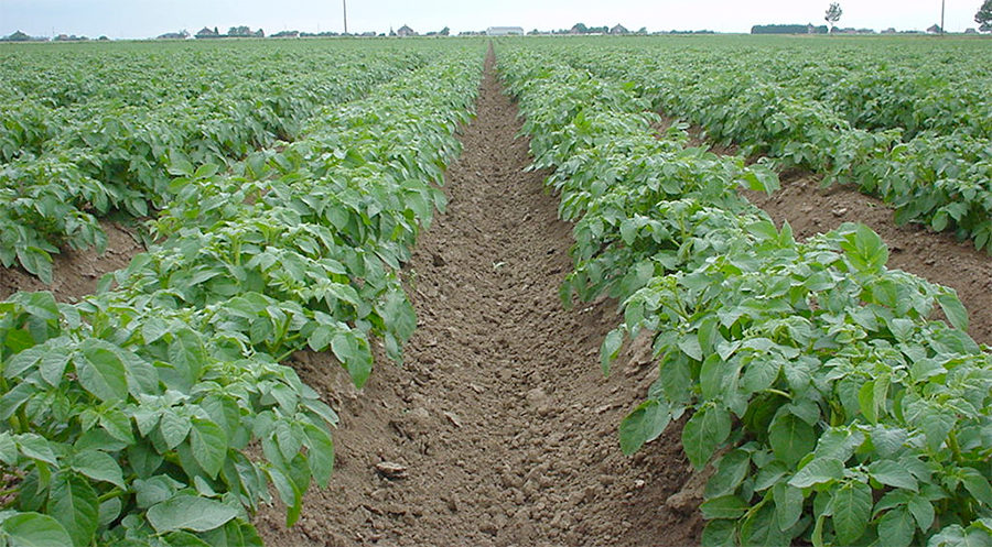 row crops